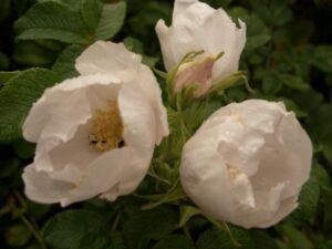 Weiße Kartoffelrose (Rosa rugosa 'alba'), topfgewachsen