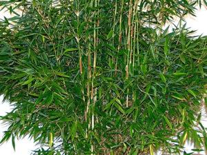 Super Jumbo-Bambus (Bambus Fargesia murielae Super Jumbo), topfgewachsen