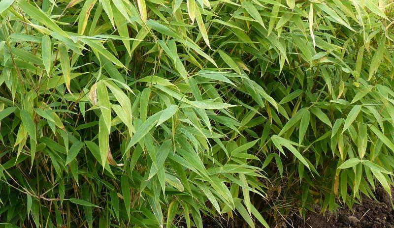 Super Jumbo Bambus Bambus Fargesia Murielae Gunstig Kaufen