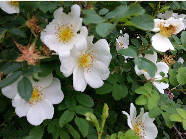Bibernellrose (Rosa Pimpinellifolia), topfgewachsen