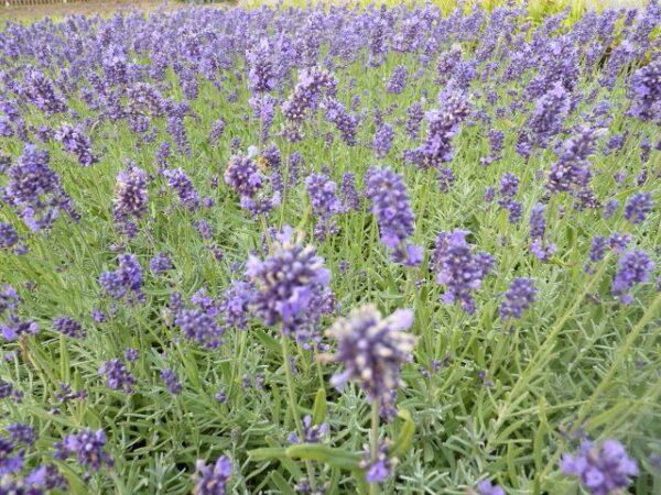 Lavendel 'Hidcote Blue' (Lavandula angustifolia 'Hidcote Blue')