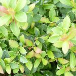 Buxusblättrige Berberitze (Berberis buxifolia Nana) - 20-bis-25