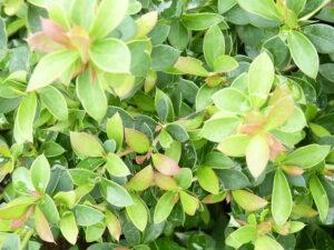 Buxusblättrige Berberitze (Berberis buxifolia Nana)