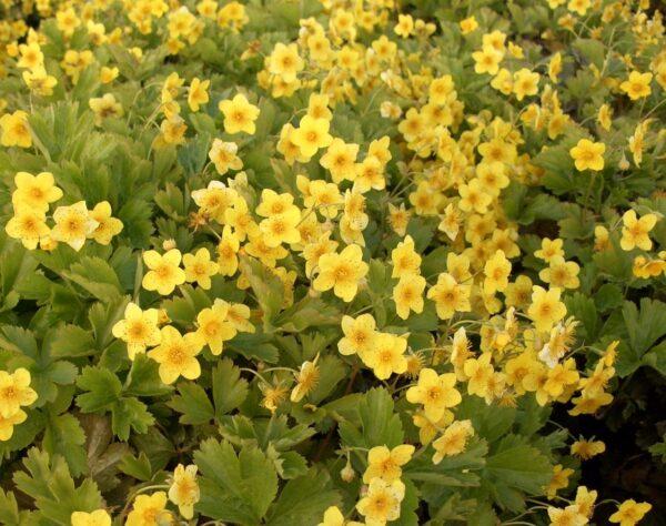 Waldsteinie (Waldsteinia ternata), topfgewachsen