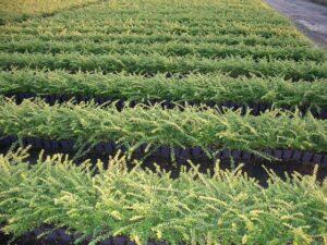 Heckenmyrte (Lonicera nitida 'Maigrün'), topfgewachsen