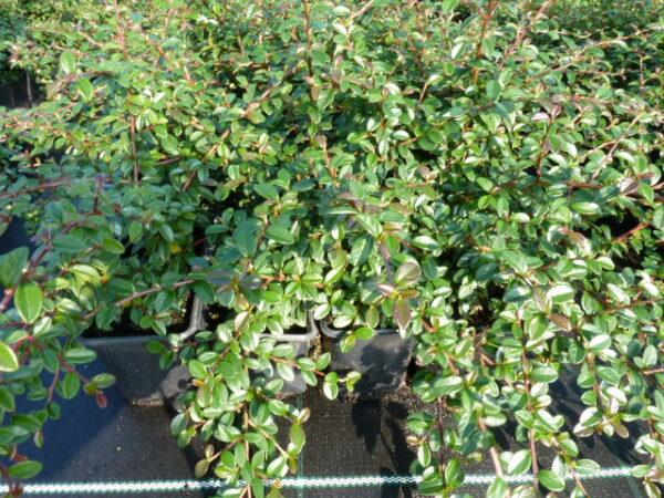 Kriechmispel 'Coral beauty' (Cotoneaster dammeri 'Coral beauty'), 20-30 cm groß