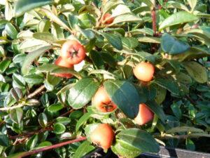 Kriechmispel radicans (Cotoneaster dammeri 'Radicans'), topfgewachsen
