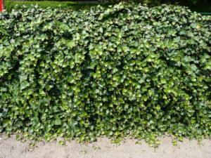 Bodendecker / Rankpflanzen