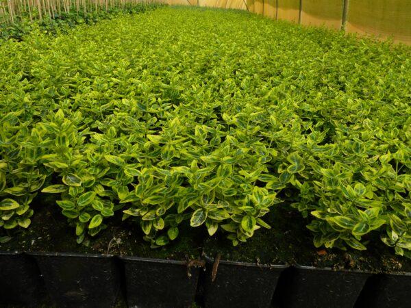 Gelbbunter Spindelstrauch (Euonymus fortunei 'emerald gold')