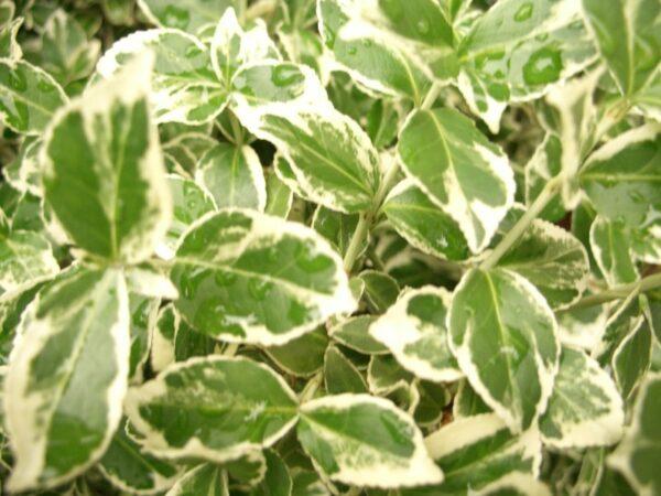 Weißbunte Kriechspindel (Euonymus fortunei 'Emerald Gaiety')