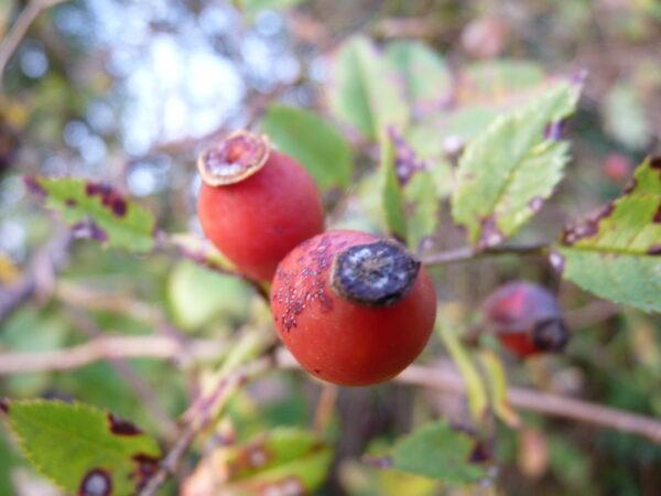 100 Wildsträucher / Wildgehölzpflanzen im 1L Topf, 50-80 cm groß