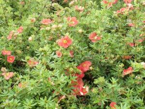 Fünffingerstrauch orangerot (Potentilla fruticosa 'Red Ace'), topfgewachsen
