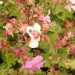 Geranium Spessart in voller Blüte