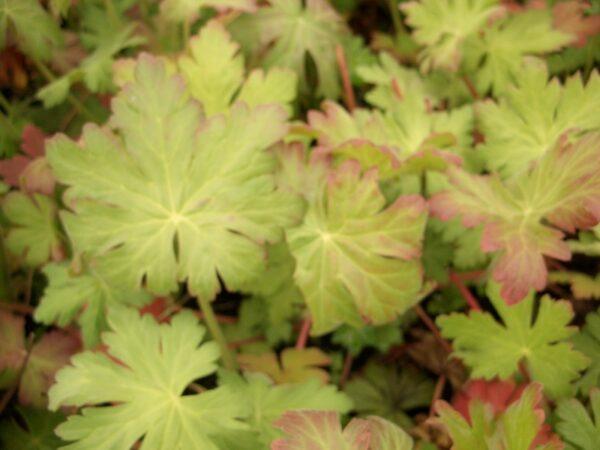 Storschnabel spessart (Geranium macrorrhizum spessart), topfgewachsen