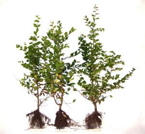 Hainbuche (Carpinus betulus), Freilandware