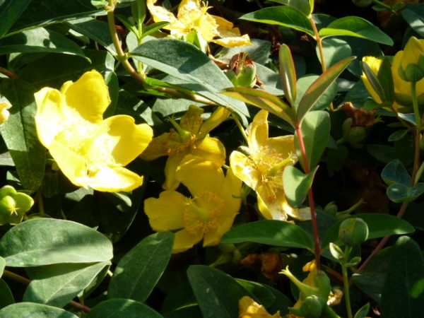 Großblumiges Johanniskraut 'Gold' (Hypericum 'Hidcote Gold'), topfgewachsen