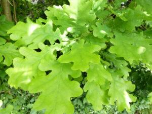 Deutsche Eiche (Quercus robur), topfgewachsen