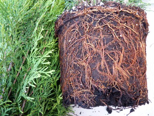 Smaragd Lebensbaum (Thuja occidentalis smaragd), topfgewachsen