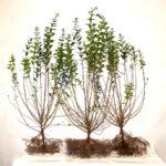 Liguster (Ligustrum vulgare 'Atrovirens'), Freilandware - 2-3-triebe - 50-bis-80