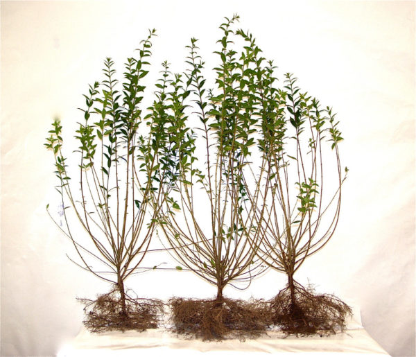 Liguster (Ligustrum vulgare 'Atrovirens'), Freilandware