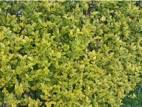 Goldliguster (Ligustrum vulgare Ovalifolium 'Aureum'), topfgewachsen