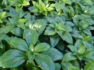 Dickmännchen (Pachysandra Terminalis 'green carpet'), topfgewachsen