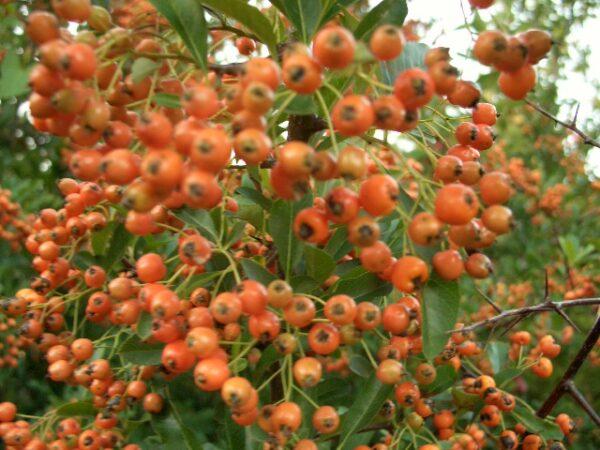 Feuerdorn orange (Pyracantha crenoserata 'Orange Glow'), topfgewachsen
