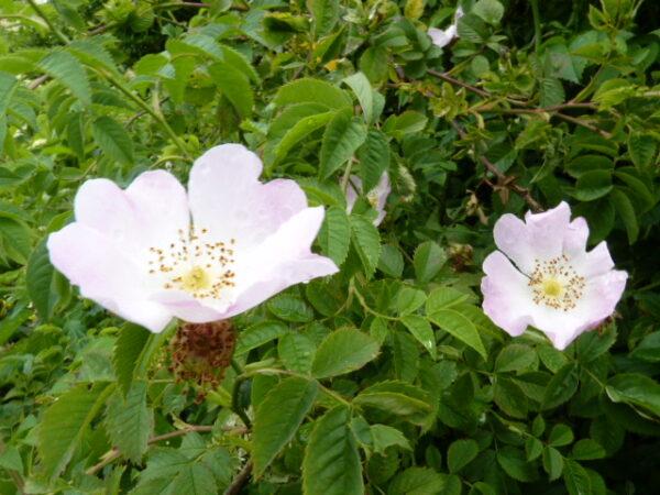Hunds-Rose (Rosa Canina), topfgewachsen