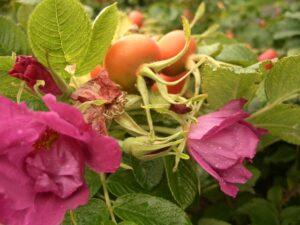 Kartoffelrose (Rosa rugosa), topfgewachsen