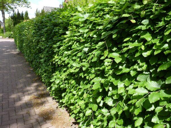 Rotbuche (Fagus sylvatica), topfgewachsen