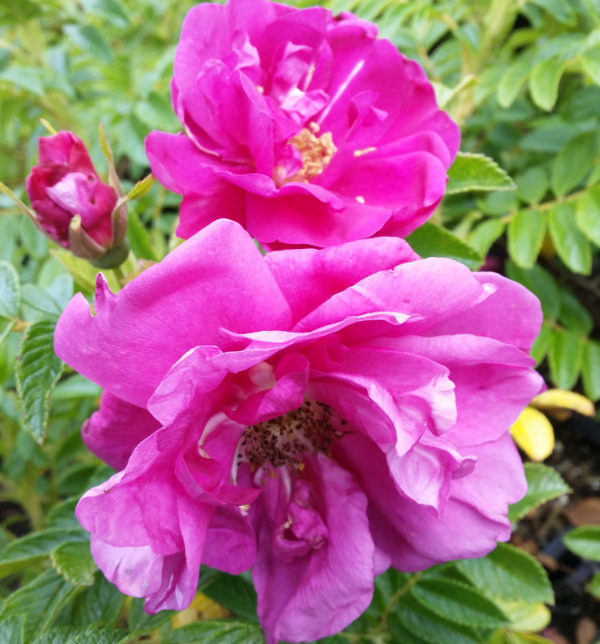 Bodendeckerrose 'Rotes Meer' (Rosa Rugosa 'Rotes Meer'), topfgewachsen