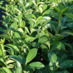 Großblättriger Kirschlorbeer (Prunus laurocerasus 'Rotundifolia'), Heckenpflanze - 60-bis-80