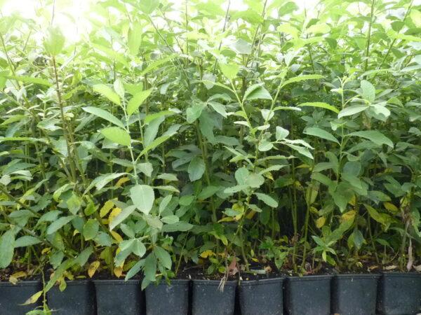 Salweide (Salix caprea), topfgewachsen