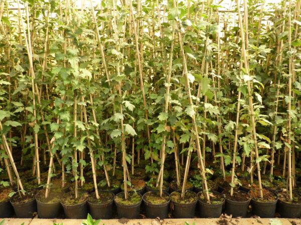 Elsbeere (Sorbus Torminalis L., Alzbeere), topfgewachsen