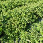 Zwerg-Kranzspiere (Stephanandra incisa 'Crispa'), topfgewachsen - 20-bis-30
