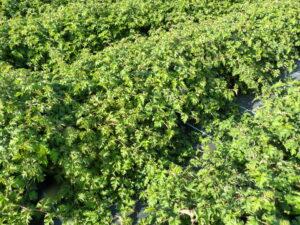 Zwerg-Kranzspiere (Stephanandra incisa 'Crispa'), topfgewachsen