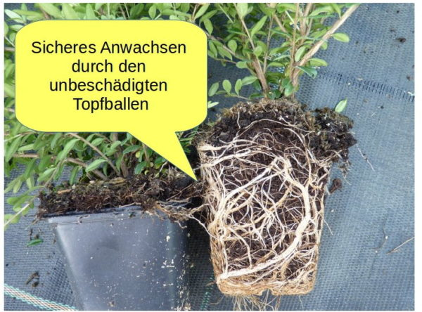 Heckenmyrthe 'Elegant' (Lonicera nitida 'Elegant'), topfgewachsen