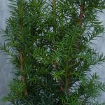 Männliche Bechereibe (Taxus Media hillii) - p9-topf-9x9-cm-ca-0-5-l - 20-bis-30