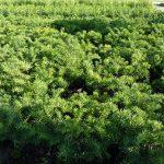 Kissen-Eibe (Tafeleibe, Taxus baccata repandens), topfgewachsen - 30-bis-40