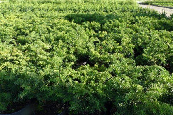 Kissen-Eibe (Tafeleibe, Taxus baccata repandens), topfgewachsen