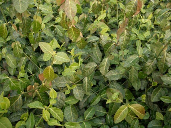 Purpur-Kriechspindel (Euonymus fortunei 'coloratus')