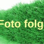 Grüne Heckenberberitze (Berberis thunbergii) - 40-bis-60