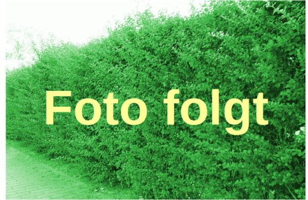 Grüne Heckenberberitze (Berberis thunbergii)