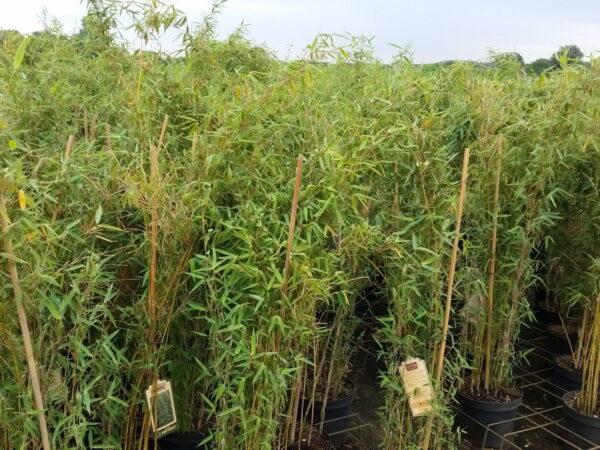Bambus Fargesia murielae 'Deep Forest' ®