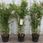 Bambus Fargesia murielae 'Deep Forest' ® - ca-3-liter - 40-bis-60