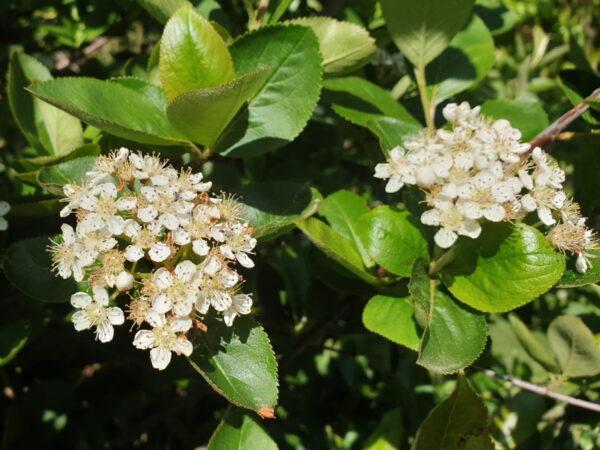 Schwarze Apfelbeere (Aronia melanocarpa)