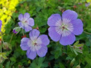 """Geranium """"Rozanne"""" Staude mit erstaunlicher Blühdauer"""