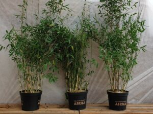 Bambus Fargesia murieliae 'Red Zebra' ®