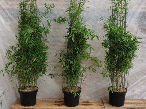 Bambus Fargesia nitida 'Black Pearl'